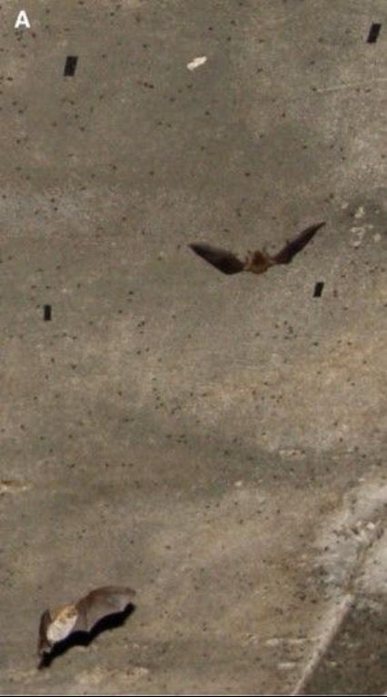 蝙蝠捕食墙壁上的苍蝇