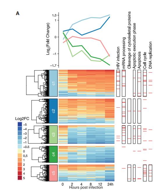 在感染后的不同时间点,不同蛋白的磷酸化过程会出现不同的变化,且与病毒细胞周期相关