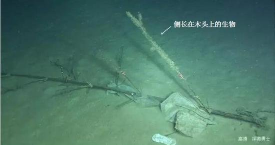"""西沙海槽生物栽类相对单一,数目少,其生物生存的条件较为苛刻,为海底中的""""沙漠""""。携带有机质的一根树枝便可成为多多生物的家(""""深海勇士""""号/摄)"""