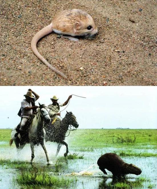 图1 最小的鼠——小号角心颅跳鼠(上) 最大的鼠——水豚(下)