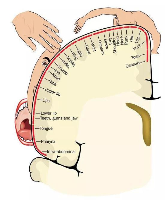 """▲""""运动小人""""的器官越大,说明大脑负责该器官动作的运动皮层区域越大(图片来源:123RF)"""