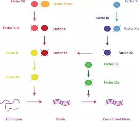 ▲凝血因子的凝血级联反应(图片来源:123RF)