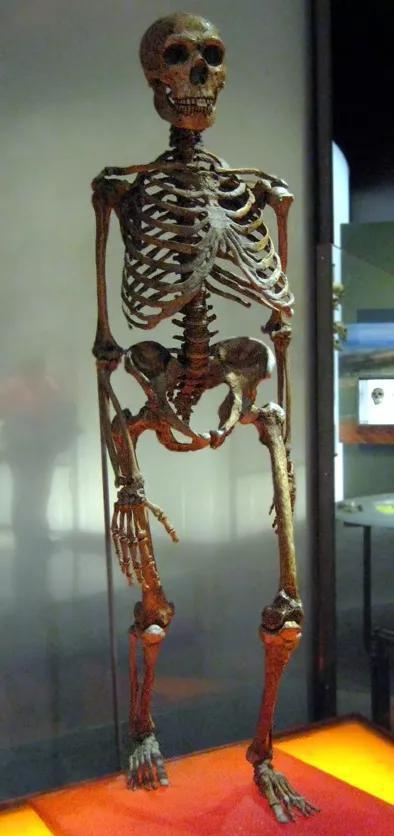 尼人骨骼 图源:wiki