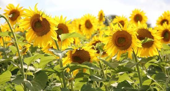 向日葵,因预判太阳升起的方向和时间而获益。(图片来源:参考文献[5])