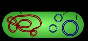 左:细菌染色体DNA的线性结构;右:质粒的环状结构