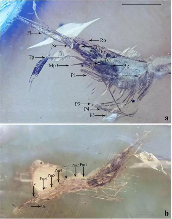 图4。 显微镜下的琥珀虾。a。 头胸部侧面观,b。 全身照。