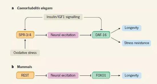 ▲在线虫和哺乳动物中,神经兴奋性调节寿命的机制示意图(图片来源:参考资料[2])