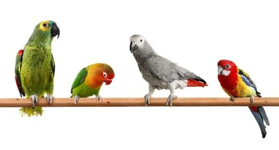 买错鹦鹉也犯法?只有三种鹦鹉可以合法饲养