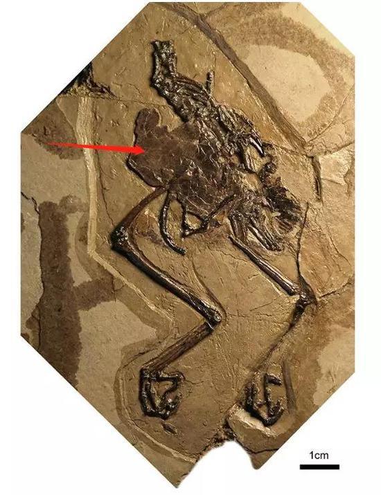 腹腔内有蛋的这只古鸟类化石 可能死于难产