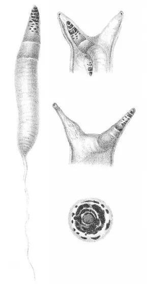 """彩蚴吸虫素描。注意后面细长的""""尾巴"""",它能一路连接到蜗牛肝脏中的胞蚴。图片来源:Wikimedia"""