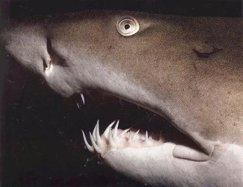 图7. 鲨鱼的牙齿