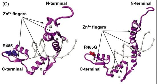 WT1蛋白的ZF4结构上5种形式的基因突变(上图);Alice体内WT1基因的突变发生在ZF4结构上(下图)。图片来源:研究论文
