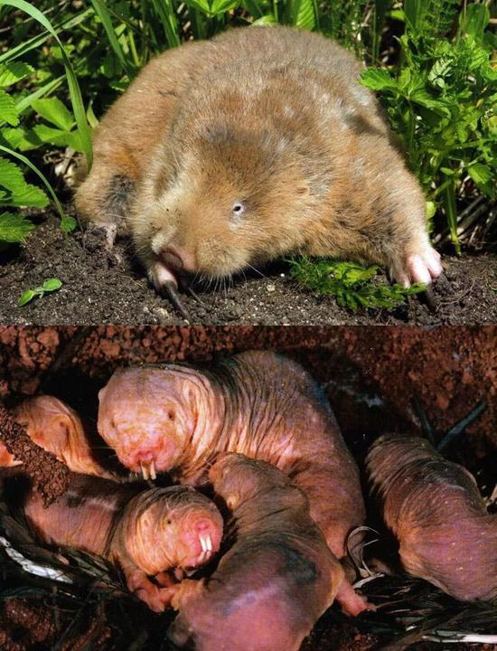 图8 地下鼠:用爪子挖掘的鼢鼠(上)用门牙挖掘的裸鼢鼠(下)
