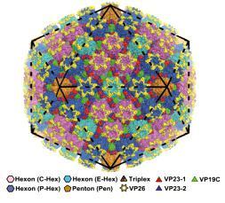 疱疹病毒核衣壳颗粒整体结构信息