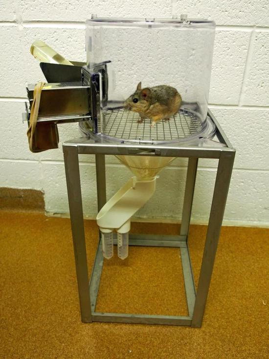 荒漠林鼠在代谢笼内 (图片来源:www.eurekalert.org)