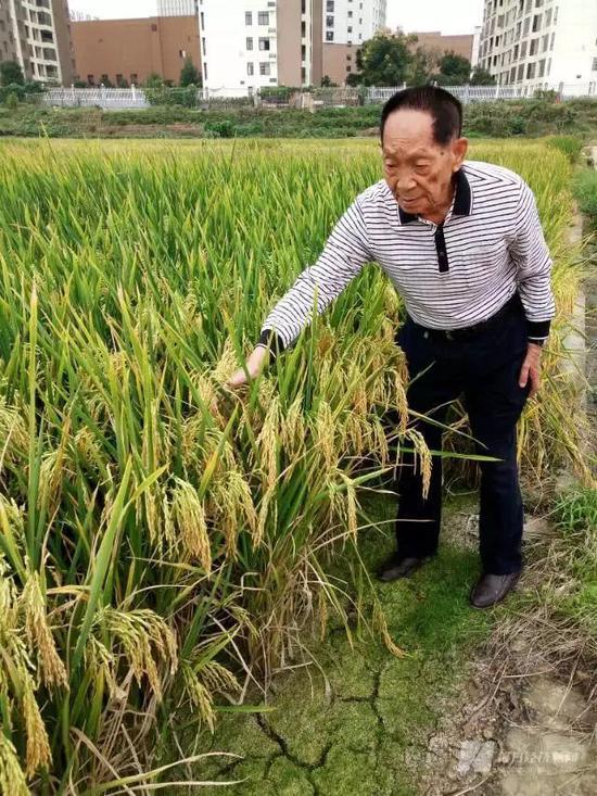 袁隆平院士带记者看试验田,拍摄于2015年    图片来源:每经记者 吴泽鹏 摄