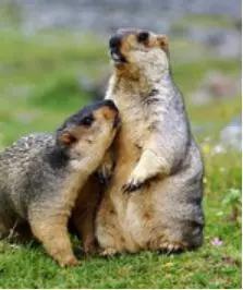 图6。喜马拉雅旱獭Marmota himalayana(图片来源:百度百科)