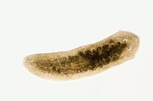 扁形虫。图片来源:Pixabay