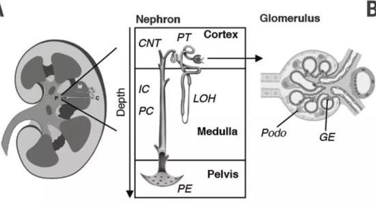 ▲肾的解剖结构,肾单位(nephron)是其基本功能单位(图片来源:参考资料[1])
