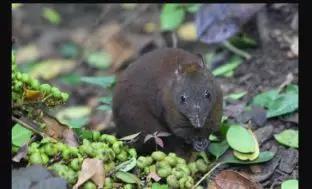 麝袋鼠(Hypsiprymnodon moschatus),仅生活在澳洲东北部的热带雨林中,是世界上体型最小的袋鼠(图片来源:https://www.iltaw.com/animal/1118)