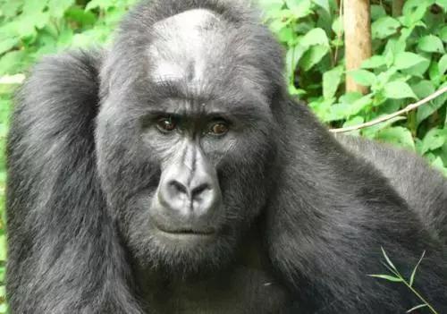 除了人类,猩猩居然也会秃头?