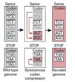 ▲按照设计,原大肠杆菌中的三个密码子被替换为它们的同义密码子(图片来源:《自然》)