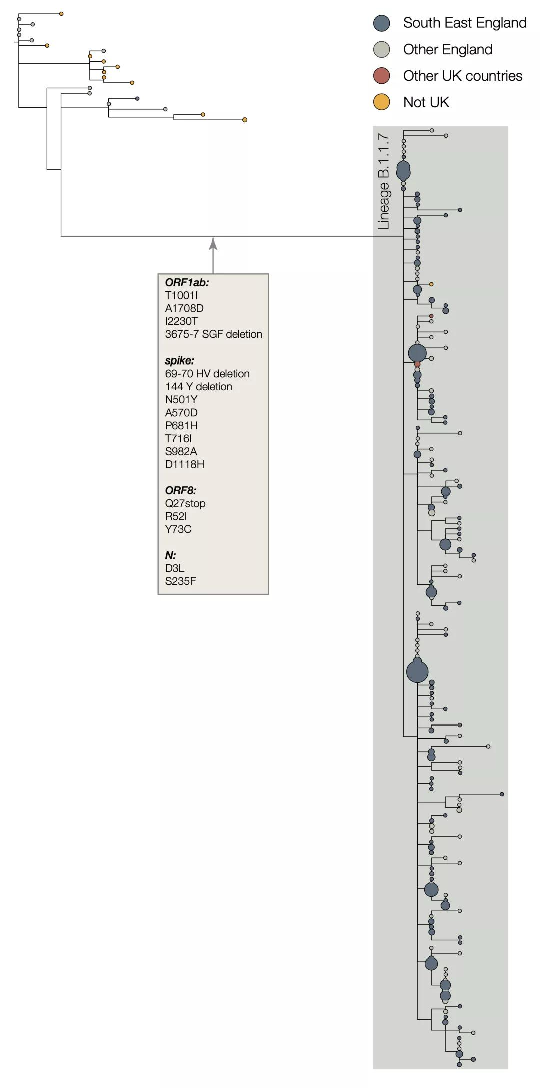 B.1.1.7谱系的系统发育树及突变位点