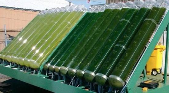 培养中的微藻(图片来源:energyeducation.ca)