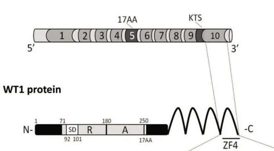 WT1蛋白序列。图片来源:研究论文