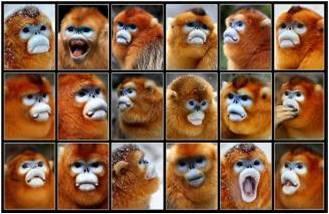 科研团队采集的秦岭金丝猴猴脸样本,资料照片,受访单位提供