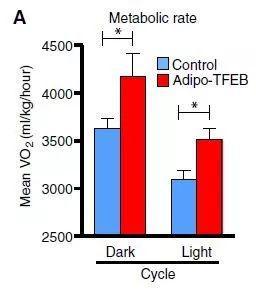 ▲脂肪细胞过表达TFEB的小鼠代谢增强(图片来源:参考资料[1])