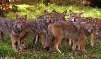 群居郊狼(pack-living coyotes)