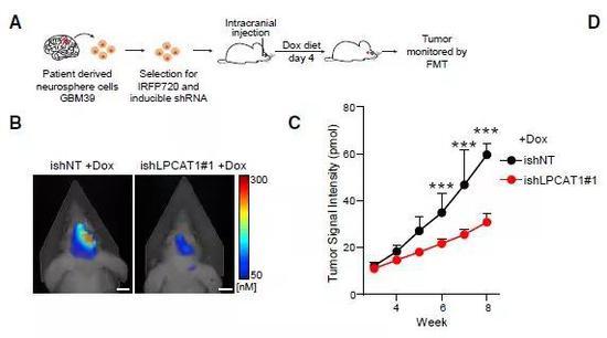 ▲在GBM小鼠模型中,下調LPCAT1后,腫瘤生長受到抑制(圖片來源:參考資料[1])