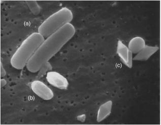 电子显微镜下的苏云金芽孢杆菌:(a)营养细胞(b)芽孢(c)毒素晶体,图源Comprehensive Biotechnology (Third Edition)