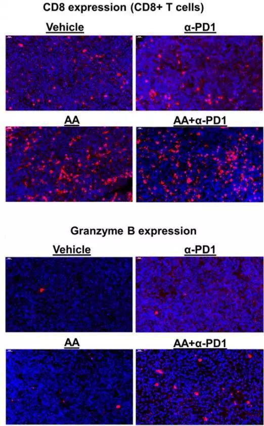 维生素C(AA)和PD-1抗体说相符治疗,隐晦添添了肿瘤里CD8 T细胞的浸润和细胞毒性