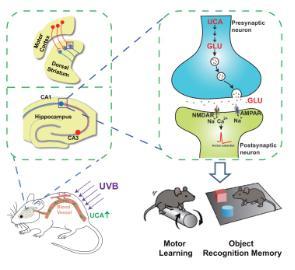 日光照射改善学习记忆的分子及神经环路机制