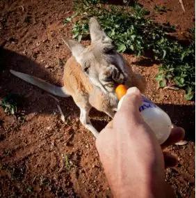 一只在袋鼠救助站由人类进行抚养的红大袋鼠宝宝