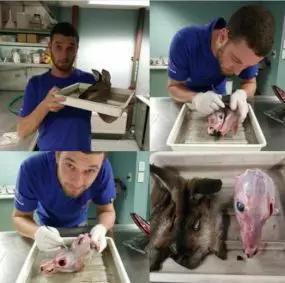 论文第一作者Rex Mitchel在对红颈袋鼠进行解剖(图片来源:Dr。 Rex Mitchell, University of New England。原创)