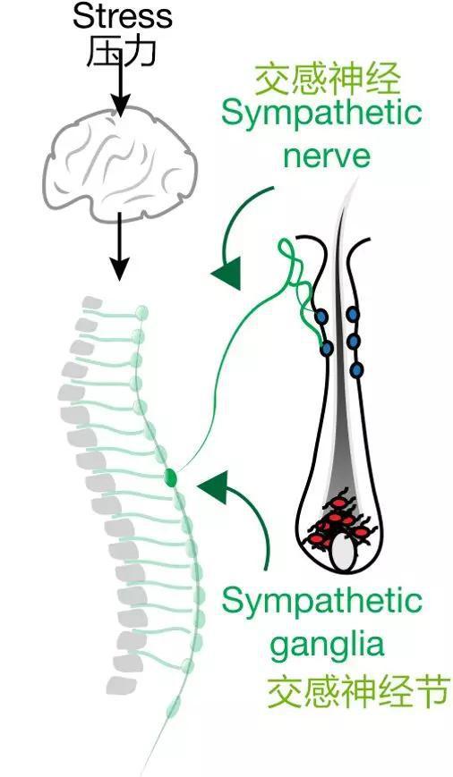 压力让毛发变白的作用机制(图片来源:文献1)