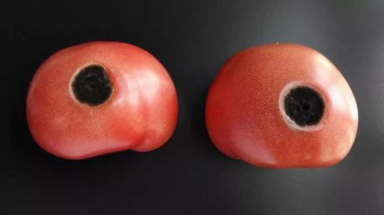 ▲西红柿在助长、采收、贮藏、运输、出售等各个过程,易受到病原微生物污浊,极易腐烂