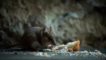 图4。家鼠(图片来源:Veer图库)