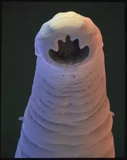 钩形虫(Ancylostoma duodenale)的清晰无码正颜照。图片来源: DAVID SCHARF / SPL