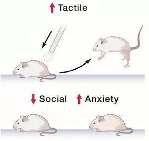 ▲Mecp2突变的ASD模型小鼠对轻触有过激反应,同时表现出社交困难和焦虑行为(图片来源:参考资料[3])