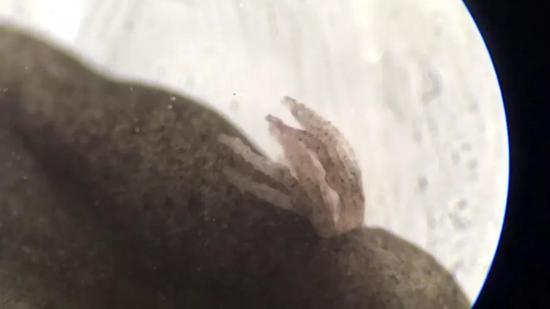 蝌蚪的外鳃