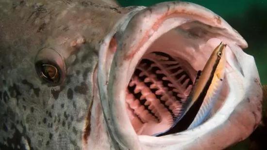 一条裂唇鱼正在清理鳕鱼的嘴(图片来源:Rand McMeins / Getty Images)