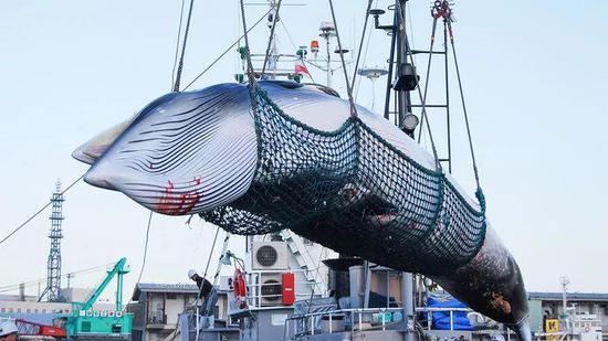 很多年日本都宣称捕鲸都是为了科学钻研。图片来源:JIJI PRESS/NEWSCOM