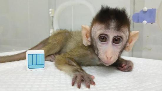 半岁多的生物节律紊乱体细胞克隆猴。中科院神经所提供