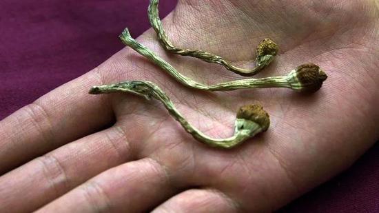 用于提取裸蓋菇素的迷幻蘑菇。圖片:Brianna Provenzano