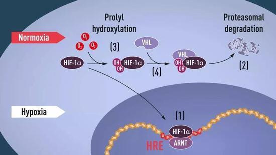 """细胞响应低氧的分子机制。正常氧气条件下,低氧诱导因子HIF-1α被修饰反应添上了两个羟基(-OH),就能够被VHL识别并打上了""""待分解""""标签,从而被蛋白酶体分解。低氧情况下HIF-1α的羟基化反应无法发生不会被降解能在细胞中稳定存在,和ARNT组合成缺氧诱导因子HIF,能结合到特定的低氧应答元件(HRE),开启EPO类似基因的表达。(图片来源:https://www.nobelprize.org/)"""