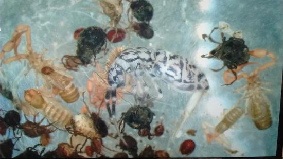 研究人员在爱尔兰发现的一只体形非常大的弹尾虫(将近2毫米)。土壤弹尾虫物种通常体形更小,颜色更白,可能没有眼睛。这些动物与微生物一道,帮助植物和土壤之间的a href=